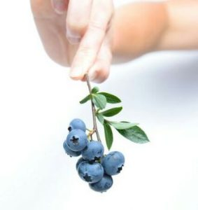Blueberries, the primary source of pterostilbene supplements